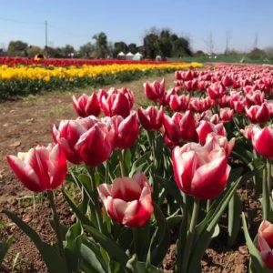 A Bologna arriva TuliPark: migliaia di tulipani colorati da raccogliere