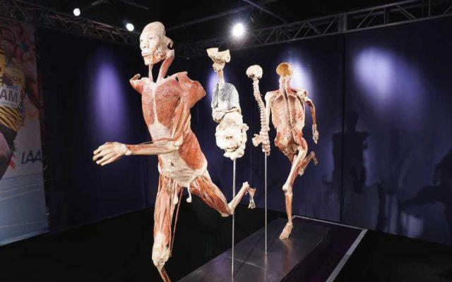 Real Bodies Experience, a Bologna la mostra con veri organi e corpi umani